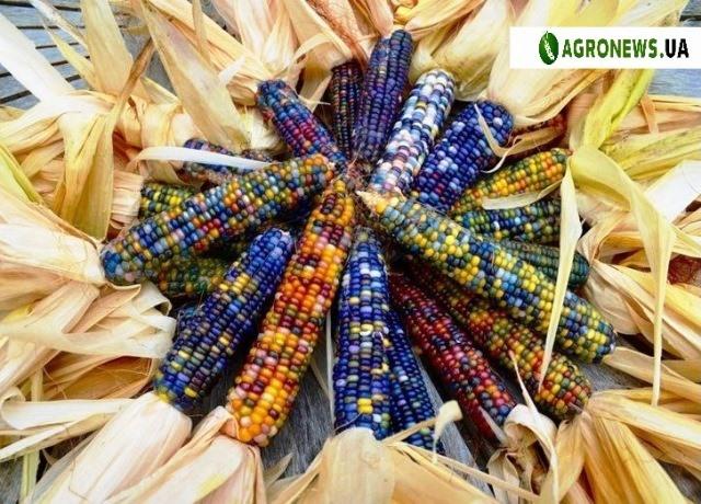 кольорова кукурудза