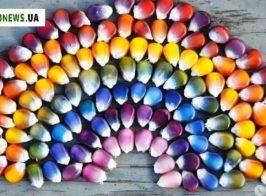 кольорова кукурудза1